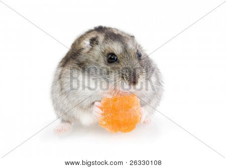 Hamster eating carrot, over white background.