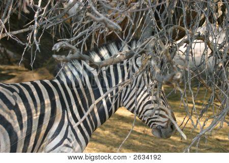 Ocultar Zebra