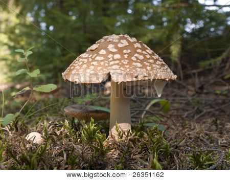 Mushroom a fly agaric in a years coniferous wood