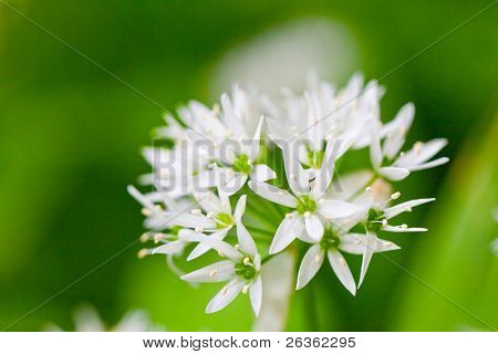 Ramsons (Allium ursinum) (also known as buckrams, wild garlic, broad-leaved garlic, wood garlic or bear's garlic) is a wild relative of chives
