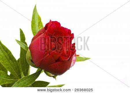 close up of red peony on white background