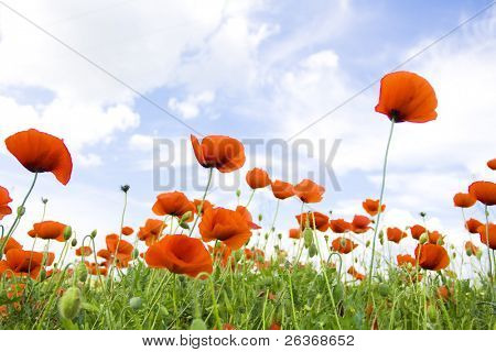 beautiful poppy field, summer flowers