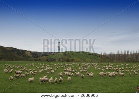 Sheep Farm - New Zealand