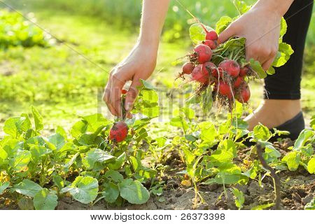 woman gardening; picking radishes