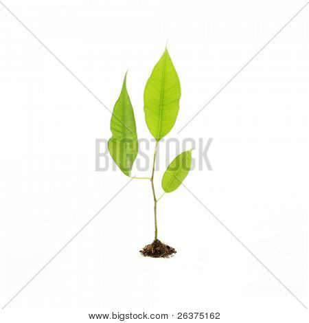 Growing green plant in soil. Isolated on white.