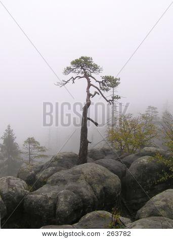 The Mist Pine