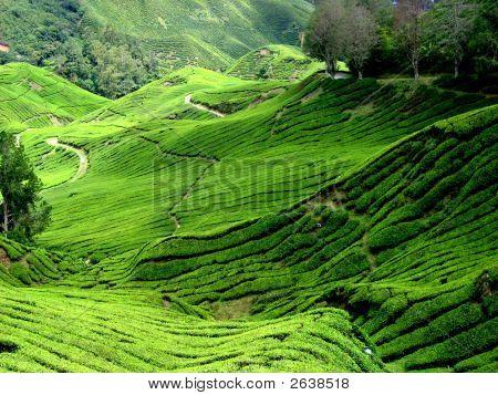Tea Plantation, Malaysia