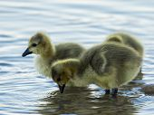 These Cute Fuzzy Goslings Were Tentatively Exploring A Local Lake In Scottsdale, Arizona poster