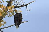 An American Bald Eagle Is Perched In A Tree With Autumn Leaves Near Kootenai Wildlife Refuge In Bonn poster