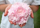 A large fluffy pink peony held in a pair of female hands. poster