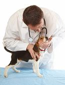 image of veterinary clinic  - Veterinarian doctor making a checkup of a beagle puppy dog - JPG