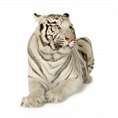 image of white-tiger  - White Tiger  - JPG