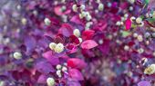 Red Leaves Bush With Little Fury White Flowers In Bloom, Blurred Background Wide Image poster