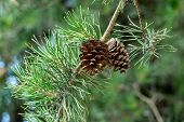 Pine Cones On A Tree poster