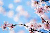 stock photo of cherry blossom  - spring cherry blossom - JPG