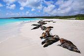 Group Of Galapagos Sea Lions Resting On Sandy Beach In Gardner Bay, Espanola Island, Galapagos Natio poster