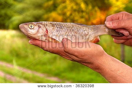 Fish Bream In Fishermen's Hands Nature On Background