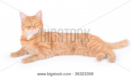 Isolated red cat