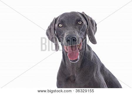 Weimaraner Dog On White Background