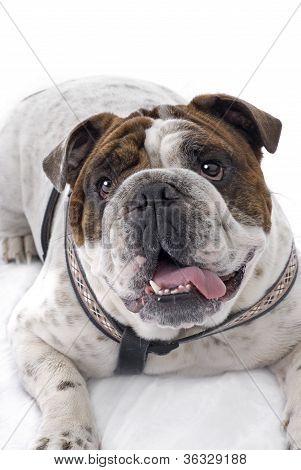 English Bulldog On White Background