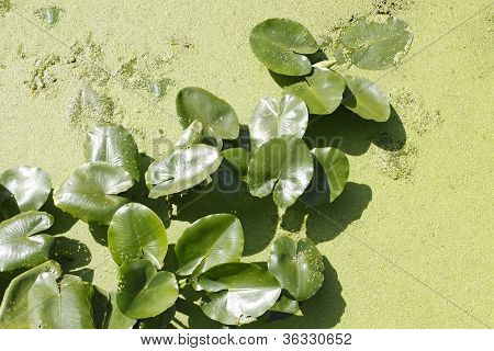 Spatterdock Plants (nuphar Lutea) In Water Among Duckweed