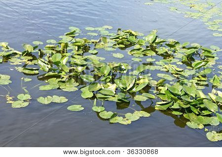 Spatterdock Plants (nuphar Lutea) In Water