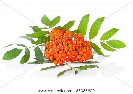 Ashberry isolated on white background