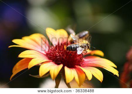 bee on coneflower echinacea