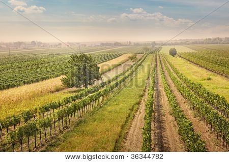 Vineyards Landscape