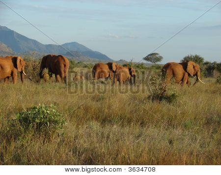 Elephants On The Savanna At Afternoon