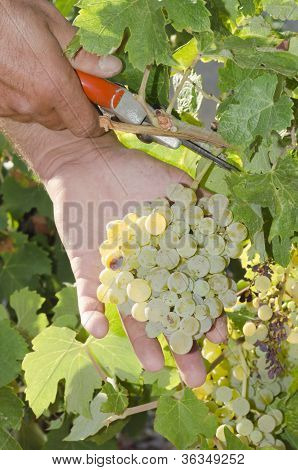 grape picker