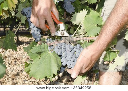 grape picker hands
