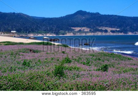Purple Flowered Coast At Ano Nuevo State Park, Ca