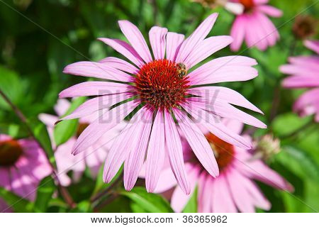 Famous purple echinacea, natural medicine for human immune system