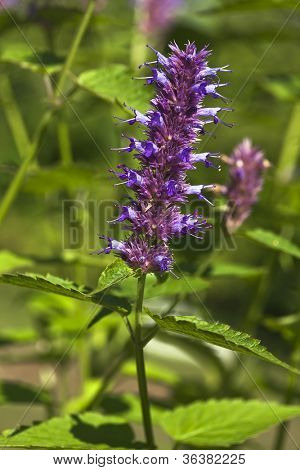 peppermint plant flower