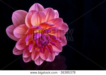 Vibrant pink with yellow and orange dahlia on a reflective black surface.