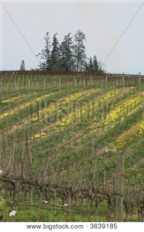 Rolling Vineyard In Spring