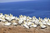 pic of gannet  - Colony of Northern Gannets sunbathing off Bonaventure Island Quebec, Canada. The Northern Gannet (Morus bassanus) is a seabird and is the largest member of the gannet family, Sulidae