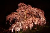 image of fukushima  - Illuminated cherry tree Nema is MiharuTakizakura Fukushima Japan - JPG