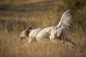 stock photo of english setter  - side view of white english setter purpurebred dog running - JPG