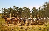 stock photo of brahma-bull  - Australian brahman beef cattle line - JPG