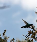 foto of avocado tree  - A green Sparkling Violetear Hummingbird hovering while pollinating the flower of an avocado tree in Cotacachi - JPG
