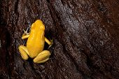 poison frog very poisonous animal with warning colors Phyllobates terribilis Colombia amazon rainfor