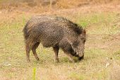 foto of javelina  - American Collared Peccary or Javelina - JPG