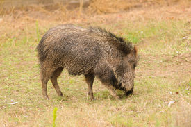 picture of javelina  - American Collared Peccary or Javelina - JPG