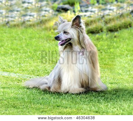 Chinese Crested Dog (powderpuff)