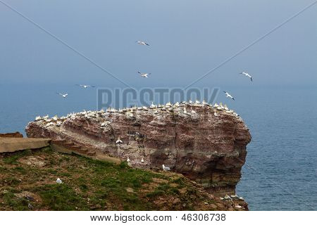 Rock At The North Sea With Many Birds