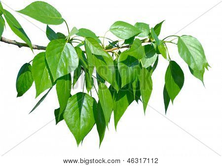 Green poplar leaves isolated on white