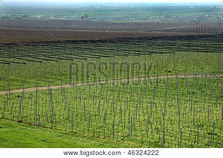 Vineyard And Apple Orchard