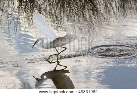 Snowy Egret Gliding Across The Water